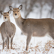 Female Japanese sika deer (Cervus nippon yesoensis) with young fawn. The deer were foraging for food during the winter in Utoro, Hokkaido, Japan.