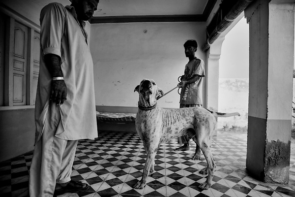 "Jani is a Bully Kutta, an indian mastiff dog of 5 years old. Muhammad Hafeez Raja (left), proud of his dog, each day provides the training of the mastiff: 4 hours in the morning, 4 hours in the afternoon. NWFP, Pakistan, on friday, August 29 2008.....According to the Islamic tradition, angels do not enter a house which contains dogs. Even if they are considered ""ritually unclean"" by the jurists, the fighting dogs of Pakistan are tolerated by institutions and by believers alike. These mastiffs are grown and trained explicitly for these matches. Spectators in this area flock-in from nearby villages whenever a famous dog is scheduled to enter the arena. And this is more than just a show: entire families base their social esteem on the results of such bloody confrontations."