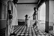 """Jani is a Bully Kutta, an indian mastiff dog of 5 years old. Muhammad Hafeez Raja (left), proud of his dog, each day provides the training of the mastiff: 4 hours in the morning, 4 hours in the afternoon. NWFP, Pakistan, on friday, August 29 2008.....According to the Islamic tradition, angels do not enter a house which contains dogs. Even if they are considered """"ritually unclean"""" by the jurists, the fighting dogs of Pakistan are tolerated by institutions and by believers alike. These mastiffs are grown and trained explicitly for these matches. Spectators in this area flock-in from nearby villages whenever a famous dog is scheduled to enter the arena. And this is more than just a show: entire families base their social esteem on the results of such bloody confrontations."""