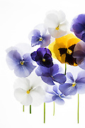 backlit pansy petals on a lightbox