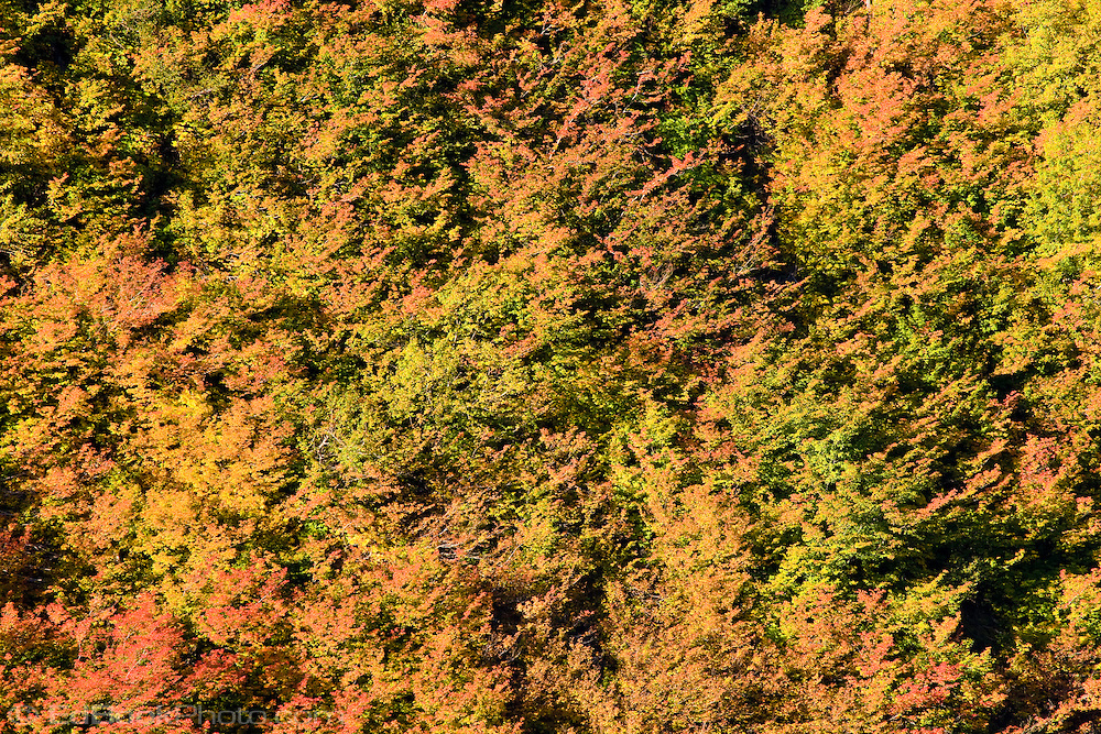 Autumn Vine Maple (Acer circinatum) blankets a steep slope in Stevens Canyon, Mount Rainier National Park, Washington, USA