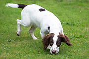 Springer Spaniel puppy dog, with brown markings, scening - following a scent - with his nose in a garden in England