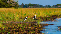 Saddle-billed storks, Kwara Camp, Okavango Delta, Botswana.