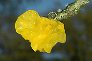 Yellow Brain - Tremella mesenterica
