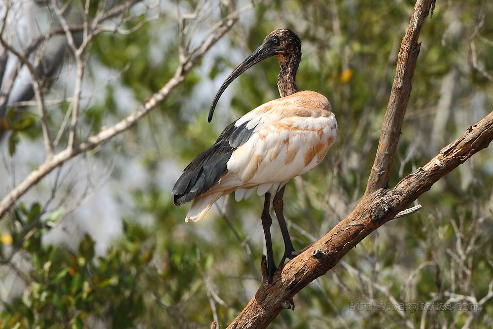 Malagasy Sacred Ibis, (Madagascar Sacred Ibis), Threskiornis bernieri, Madagascar, by Markus Lilje