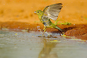 Painted bunting flying off from bathing