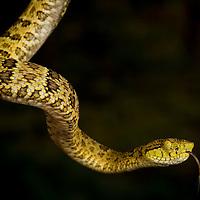 A pit viper, Botrhocophias punctatus, in the Chocó.