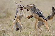Black-backed Jackal<br /> Canis mesomelas<br /> Fighting<br /> Masai Mara Triangle, Kenya