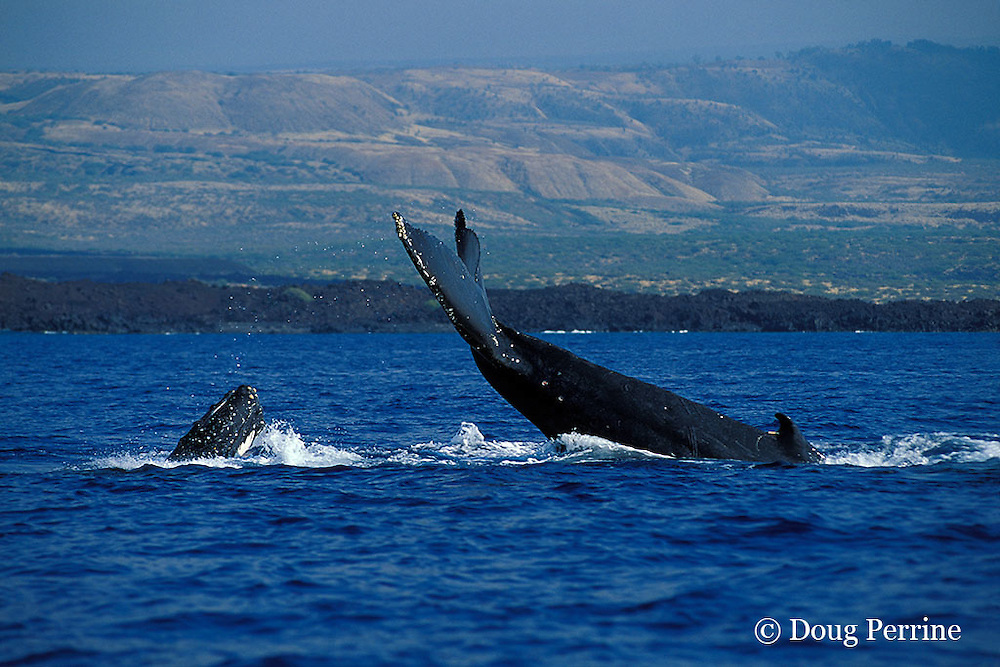 humpback whales, Megaptera novaeangliae, in frenzied competition for access to a female; escort, on right, uses his fluke to ward off a male challenger coming up from behind, Kona, Hawaii ( Central Pacific Ocean )<br /> caption must include: photo taken under NMFS research permit #882