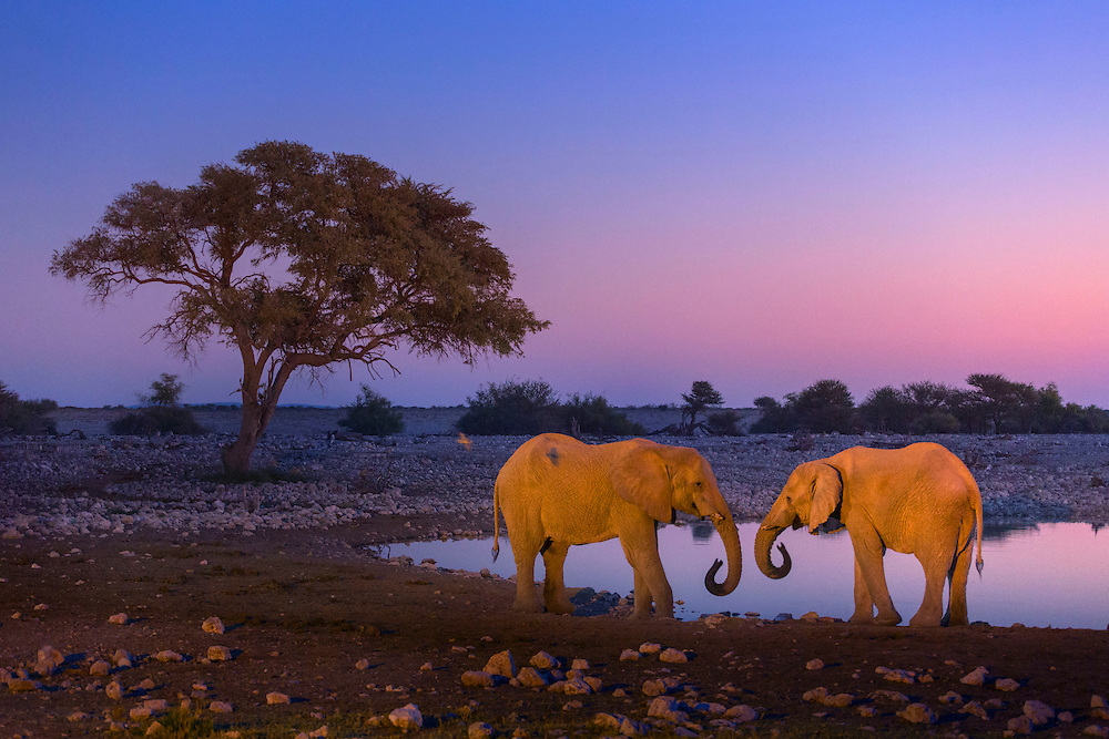 A pair of elephants at a waterhole at dusk, Etosha National Park, Namibia.