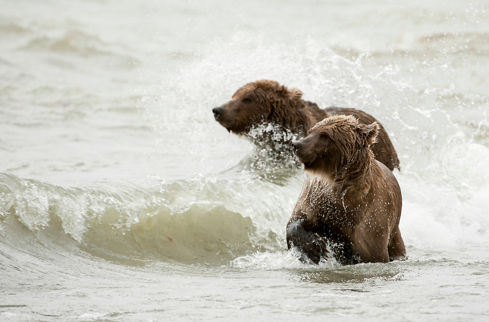 North America; United States; Alaska; Katmai National Park; Wildlife; Mammals; Summer; Brown Bear; Ursus arctos; Brown Bear sow and cub Fishing in Storm, Naknek Lake