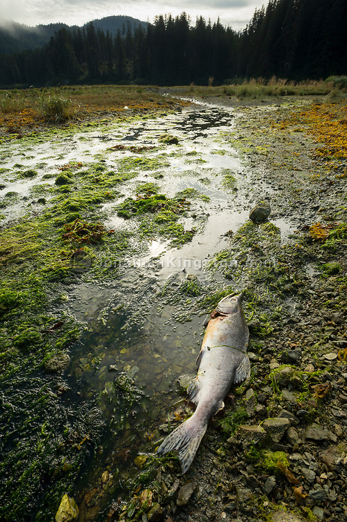 A dead salmon on a rocky beach in south east Alaska with temperate rainforest and mountains visible in the background.