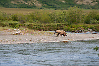 Juvenile Grizzly Bear retreating to the willows to eat its meal of King Salmon..shot on the Kanektok River, Alaska, USA..