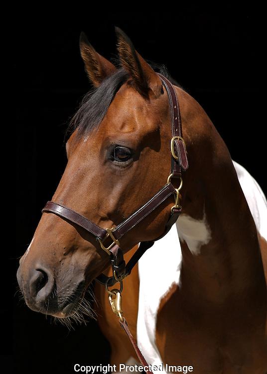 pinto gelding portrait