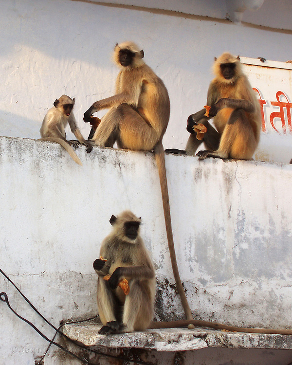 Monkeys wait for food at a ghat in Pushkar, Rajasthan.