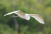 A great egret (Ardea alba) brings in a stick to his nest, High Island, Texas
