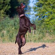 Ellie the Labrador
