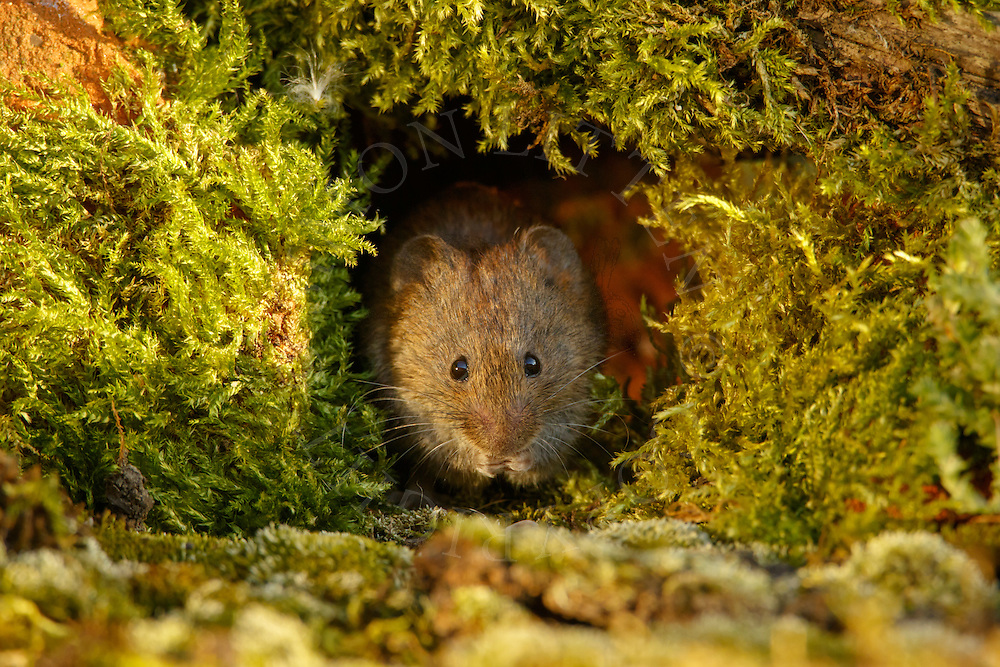 Bank Vole (Clethrionomys glareolus) adult feeding in a gap in a pile of old moss-covered bricks, South Norfolk, UK. August.