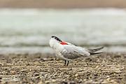 Caspian Tern, Waiheke Island, New Zealand