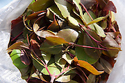 Qat leaves in a bag for sale on the streets of Sanaa, Yemen. (From the book What I Eat: Around the World in 80 Diets.) Although qat chewing isn't as severe a health hazard as smoking tobacco, it has drastic social, economic, and environmental consequences. When chewed, the leaves release a mild stimulant related to amphetamines. Qat is chewed several times a week by a large percentage of the population: 90 percent of Yemen's men and 25 percent of its women. Because growing qat is 10 to 20 times more profitable than other crops, scarce groundwater is being depleted to irrigate it, to the detriment of food crops and agricultural exports.