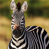 Tight portrait of a plains zebra, Masai Mara, Kenya, 2012