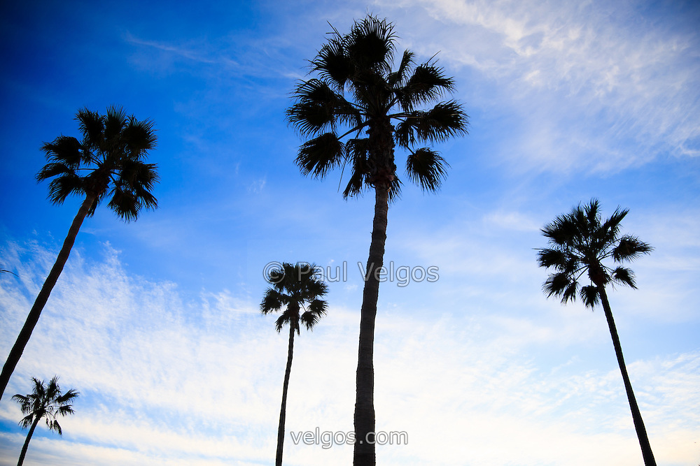 Palm trees high resolution photo. Palm trees with a dramatic blue sky.