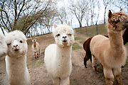 Alpacas at Sauk Creek Alpacas are seen in Oregon, Wisconsin on May 3, 2011. Lynne Johnson owns the farm.