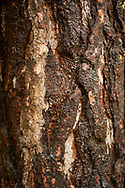 2017 NOVEMBER 20 - Detail of wet bark on tree at Lincoln Park in West Seattle, WA, USA. By Richard Walker