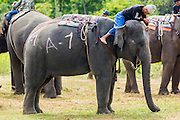 "28 AUGUST 2013 - HUA HIN, PRACHUAP KHIRI KHAN, THAILAND:  A mahout (elephant trainer) relaxes atop his elephant at the King's Cup Elephant Polo Tournament in Hua Hin, Thailand. The tournament's primary sponsor in Anantara Resorts and the tournament is hosted by Anantara Hua Hin. This is the 12th year for the King's Cup Elephant Polo Tournament. The sport of elephant polo started in Nepal in 1982. Proceeds from the King's Cup tournament goes to help rehabilitate elephants rescued from abuse. Each team has three players and three elephants. Matches take place on a pitch (field) 80 meters by 48 meters using standard polo balls. The game is divided into two 7 minute ""chukkas"" or halves. There are 16 teams in this year's tournament, including one team of transgendered ""ladyboys.""    PHOTO BY JACK KURTZ"