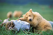 Grizzly Bear <br /> Ursus arctos<br /> Sub-adult sleeping on log<br /> Katmai National Park