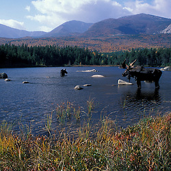Whidden Pond, Baxter S.P.,ME Two moose, alces alces.