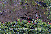 2 male Magnificent frigatebirds attempt to land on a tree on Bona Island in the Bay of Panama.
