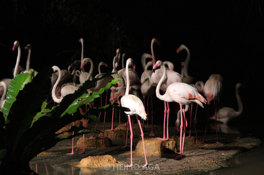 Night Safari Singapore. Flamingoes.