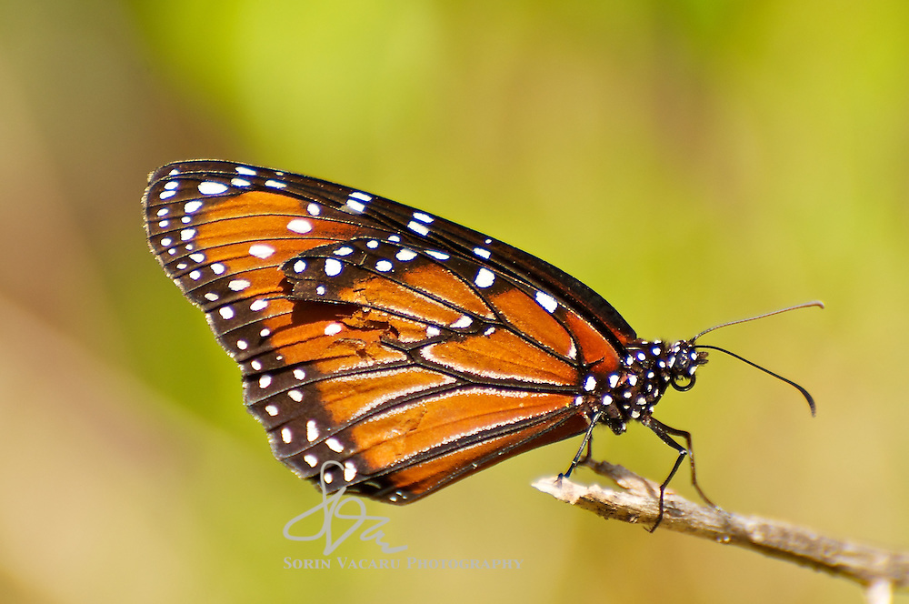 Soldier Butterfly Resting