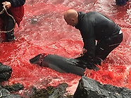 Seas turn red with blood as locals slaughter 210 dolphins in the Faroe Islands - 17 Sep 2018