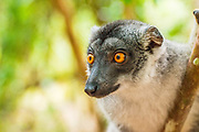 Crowned Lemur (Eulemur coronatus) is an endangered species of primate native to Madagascar