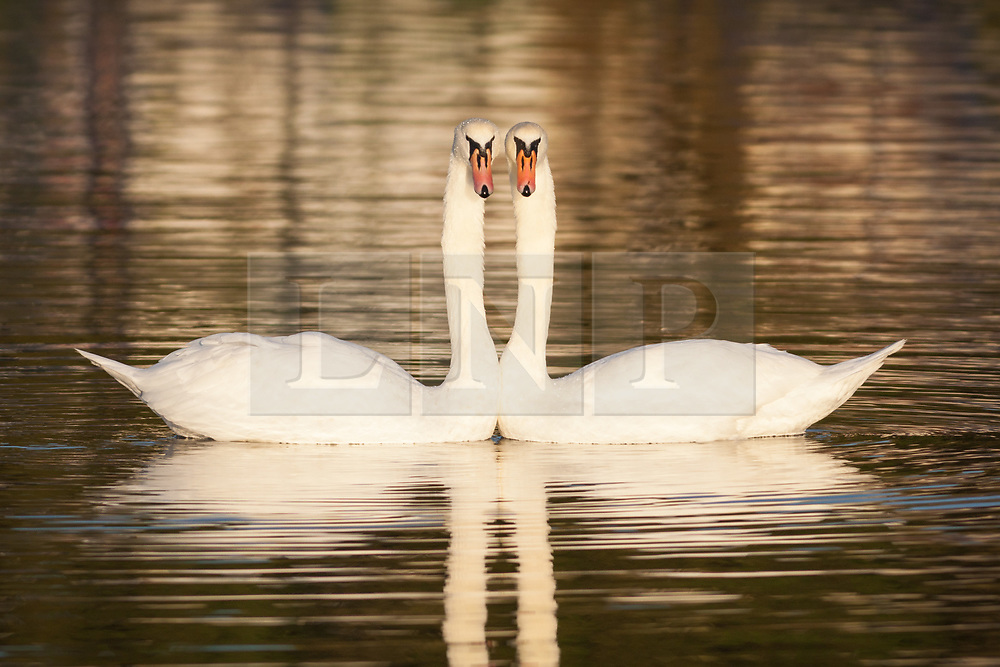 © Licensed to London News Pictures. 30/10/2017. Southsea, UK.  A pair of courting mute swans perform a synchronised 'dance' on Southsea Canoe Lake this morning, 30th October 2017.  Photo credit: Rob Arnold/LNP