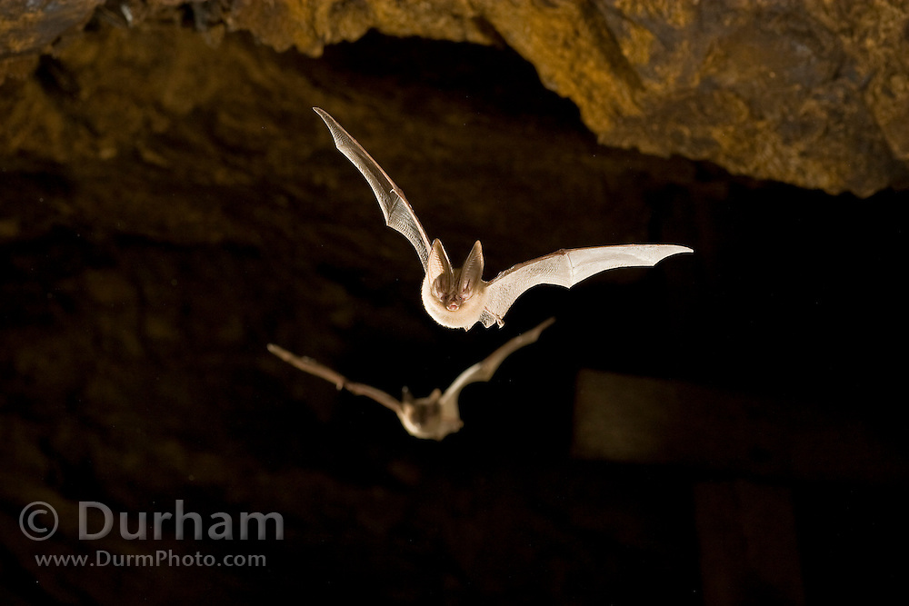Townsend's big-eared bats (Corynorhinus townsendii) in an abandoned mercury sulfide mine. Central Oregon.