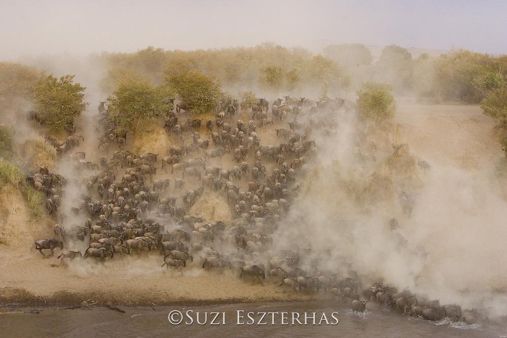 Wildebeest<br /> Connochaetes taurinus<br /> Maasai Mara Reserve, Kenya<br /> Wildebeest crossing the Mara River during dry season at sunset