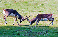 "Chateau de Sauvage, France. Bucks ""crossing horns"", fighting in the animal park."