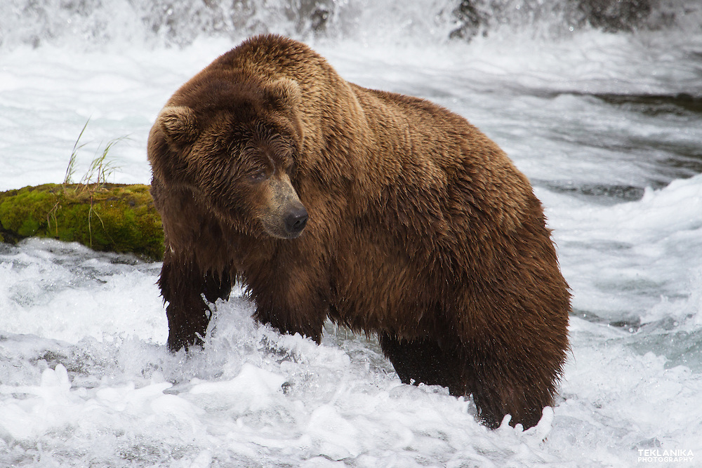 A brown bear fishes for salmon at Brooks Falls in Katmai National Park.