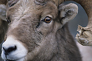 Bighorn Ram, Ram, Sheep, Rocky Mountain Bighorn Ram, Bighorn Ram, Glacier national park, Montana