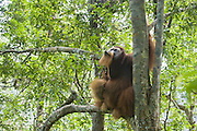 Sumatran Orangutan<br /> Pongo abelii<br /> Dominant adult male in tree<br /> North Sumatra, Indonesia<br /> *Critically Endangered