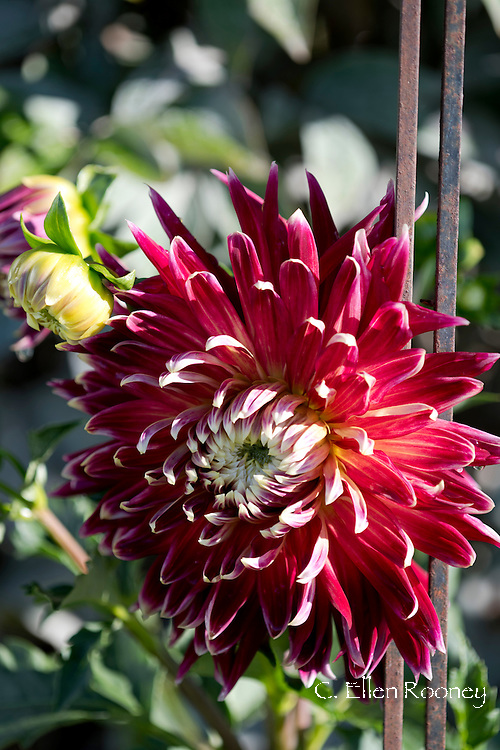 Dinner Plate Dahlia 'Akita' a deep red and white tipped dahlia in a garden in Westerlo, New York, U.S.A.