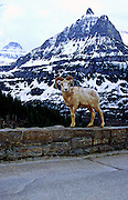 Bighorn sheep on block wall at Going To The Sun Road. Glacier National Park, Montana.