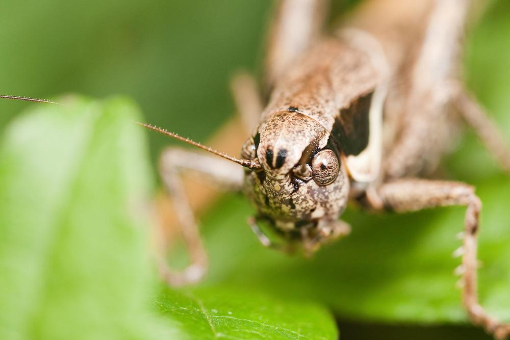 Grasshopper (Phaneroptera spec)  close-up, National Park Djerdab, Serbia