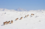 After a record snowfall, a herd of antelope crosses the grasslands north of Sonoita, Arizona, USA. (PHOTO: ©Norma Jean Gargasz)