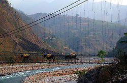 """RUKUM DISTRICT, NEPAL, APRIL 17, 2004:  Donkeys , the only mode of transportation in this undeveloped terrain, cross a bridge in Rukum District April 17, 2004. Ill-equipped security forces in politically unstable Nepal are unable to control  Maoist rebels, who continue to abduct thousands of villagers for forcible indoctrination and military training.  The Maoists mainly target students, teachers and youths. The victims are usually released after a few days of indoctrination, unless they actively resist the """"training attempts,"""" in which case the rebels torture or sometimes kill them. Maoist insurgents have capture most of the Western part of Nepal in their attempt to make it a Communist State. Analysts and diplomats estimate there about 15,000-20,000 hard-core Maoist fighters, including many women, backed by 50,000 """"militia"""".  In their remote strongholds, they collect taxes and have set up civil administrations, and people's courts. They also raise money by taxing villagers and foreign trekkers.  They are tough in Nepal's rugged terrain, full of thick forests and deep ravines and the 150,000 government soldiers are not enough to combat this growing movement that models itself after the Shining Path of Peru. (Ami Vitale/Getty Images)"""