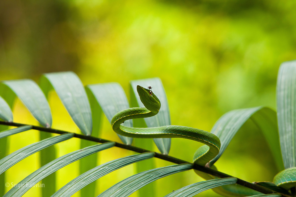 A leaf-nosed vine snake perches in a palm at Chalalan Lodge in Madidi NP in Bolivia.