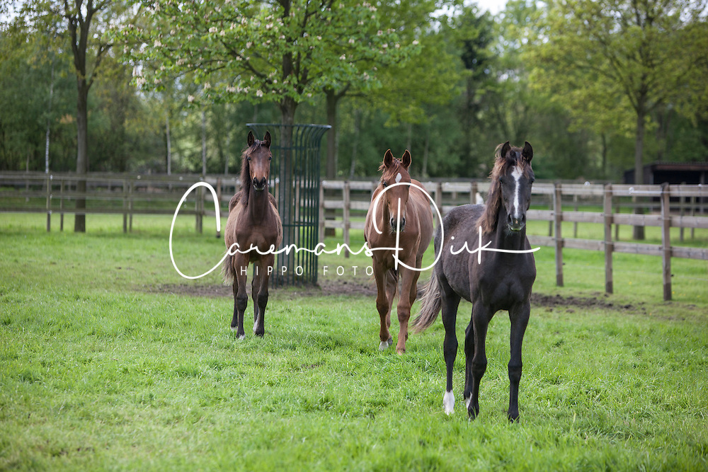 -Jewel's Dream Girl<br /> (Lordanos x Carolus II out of A Jewel's Touch (Dominard x        Classic Touch))<br /> -L-Jewel's Lucky Lady<br /> (Brown Boy x Capitol I)<br /> -L-Jewel's Touch of Totilas<br /> (Totilas x Dominard (out of Classic Touch))<br /> Jewel Court Stud - Wuustwezel 2012<br /> © Dirk Caremans